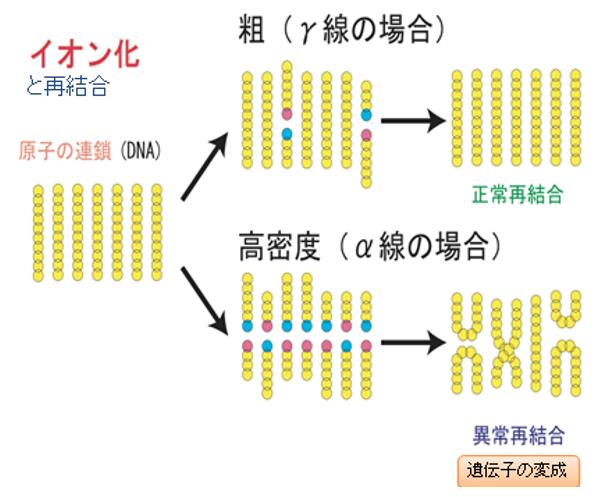 イオン化と再結合&アルファ線とガンマ線被曝の違い